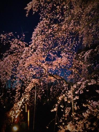 2016.3しだれ桜